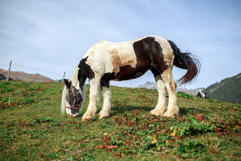 吃草在一个高山草甸的马在沃埃尔附近村庄  福拉尔贝格州,奥地利 库存照片