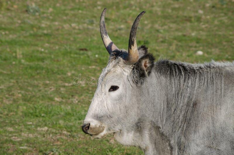 吃草在一个绿色大草原的Maremmana母牛 库存照片