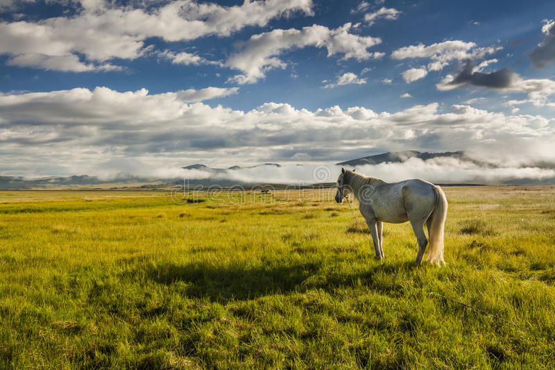吃草在一个绿色草甸的白马 图库摄影