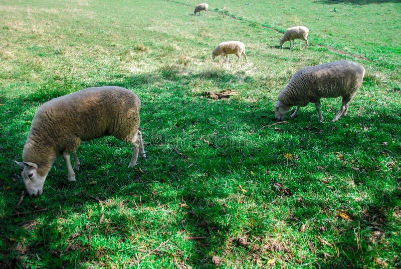 吃草在一好日子的绵羊 免版税库存图片