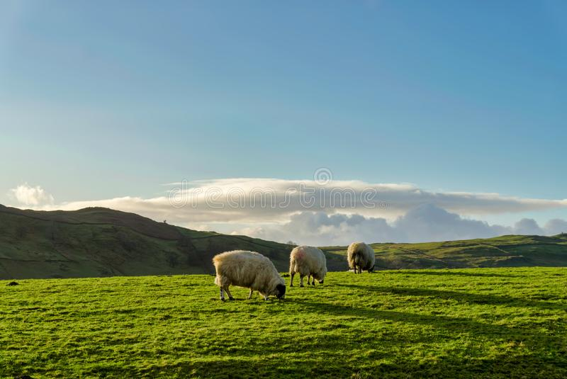 吃草在一绿色牧场地againt小山的背景三只绵羊 免版税图库摄影