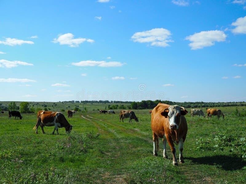 吃草在一草甸好日子的母牛牧群  免版税库存图片