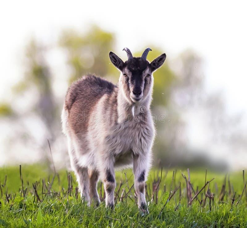 吃草在一豪华的绿色草甸晴天和l的滑稽的幼小山羊 库存照片