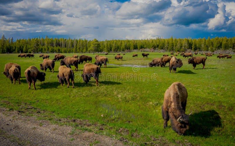吃草在与山和树的一个领域的北美野牛牧群在背景中 免版税库存图片