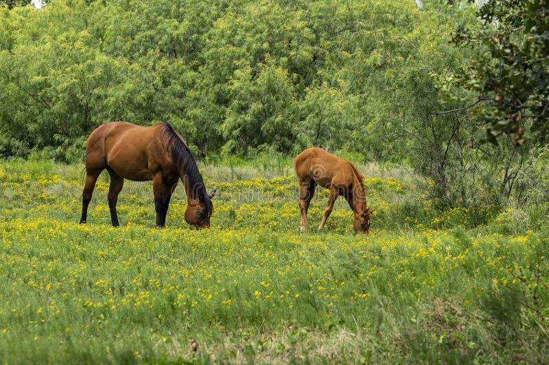 吃草在与驹的黄色花的母亲马 免版税库存图片