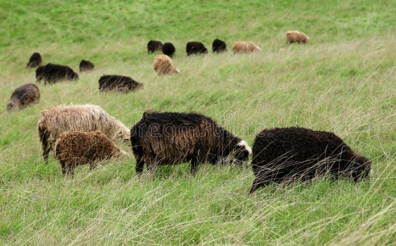 吃草在丹麦的小组绵羊 库存照片