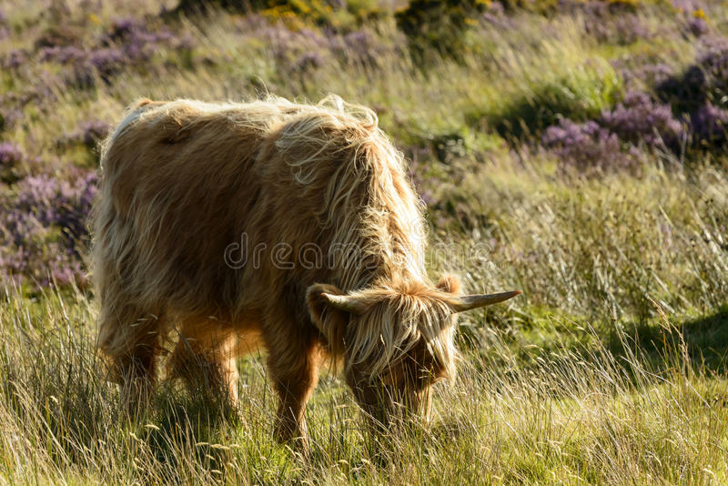 吃草在停泊, Dartmoor的Higland牛 库存照片