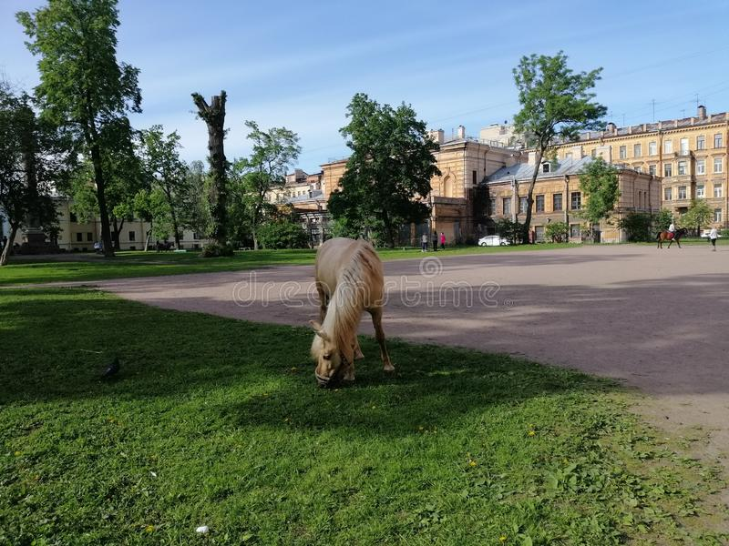 吃草在公园的马在彼得斯堡 库存图片