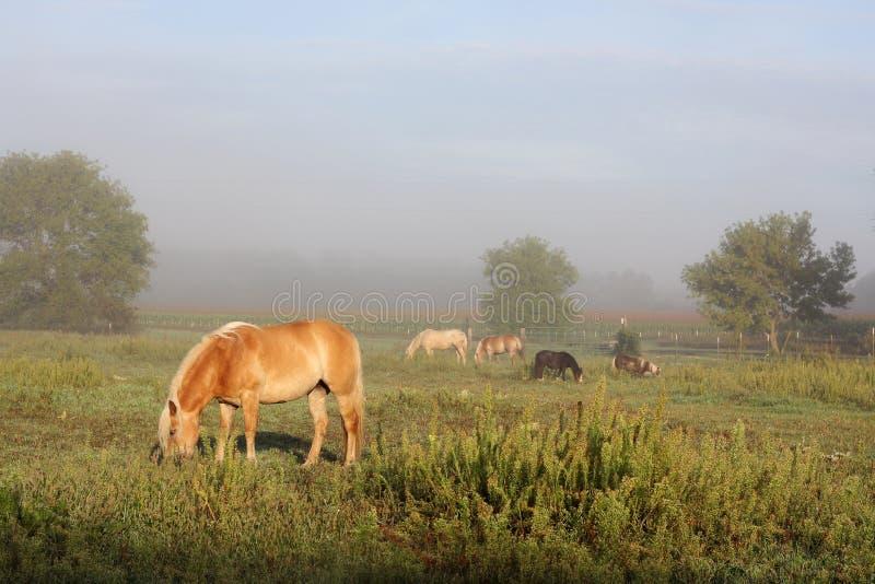 吃草在农厂牧场地的马在有雾的日出 库存图片