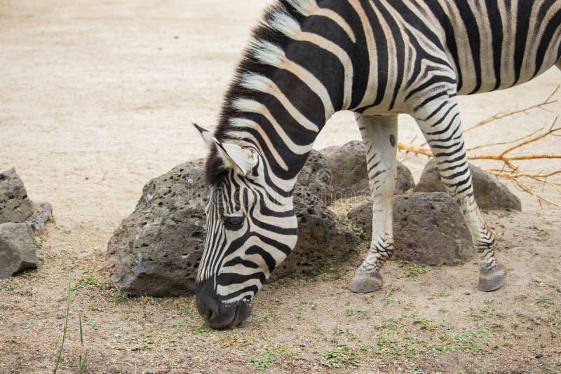 吃草在动物园的斑马 免版税库存图片
