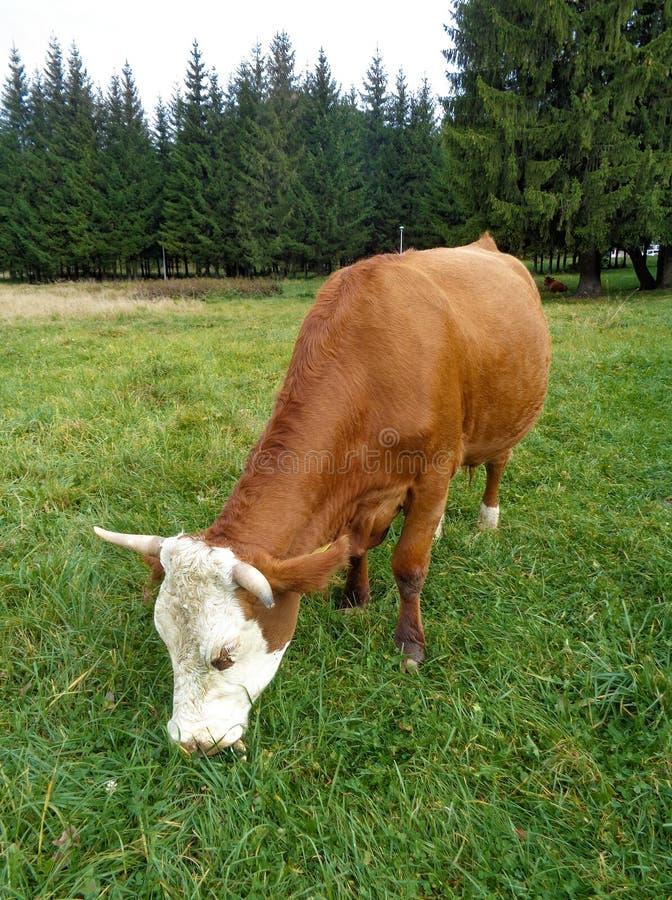 吃草在博亚纳BraÅŸov手段附近- BraÅŸov,罗马尼亚胡同的母牛  免版税库存图片