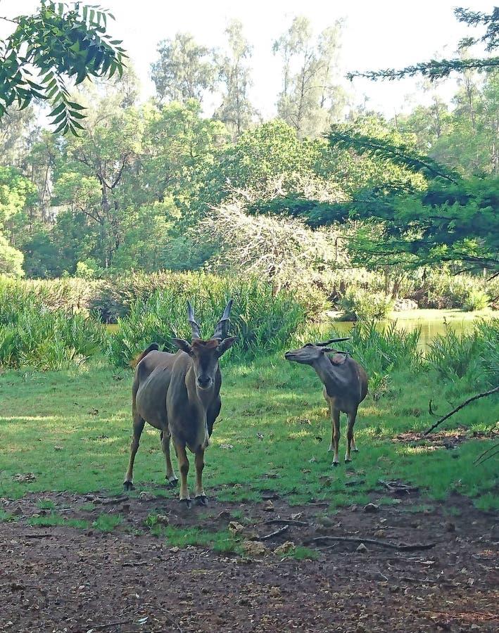 吃草在原野的羚羊 免版税库存图片