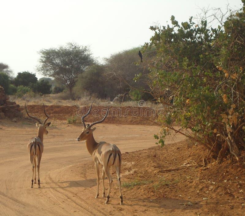 吃草在原野的羚羊 库存照片