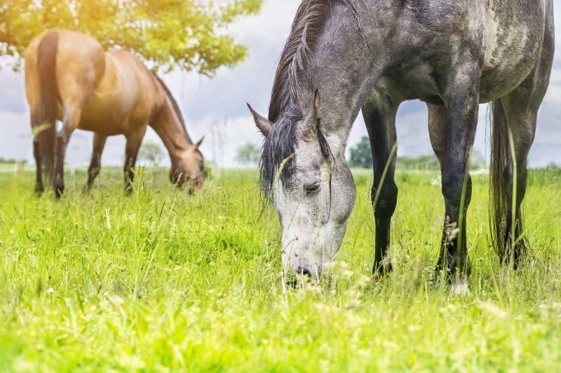 吃草在夏天草甸的马 库存照片