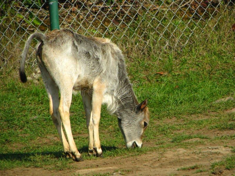 吃草在大草原草的驴 免版税库存图片