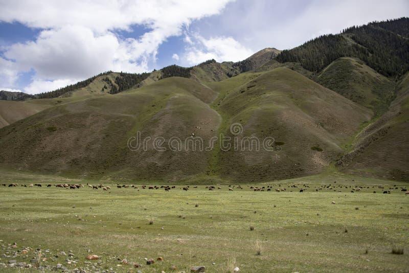 吃草在天山的山麓小丘的绵羊群  青山背景的绿色牧场地  免版税图库摄影