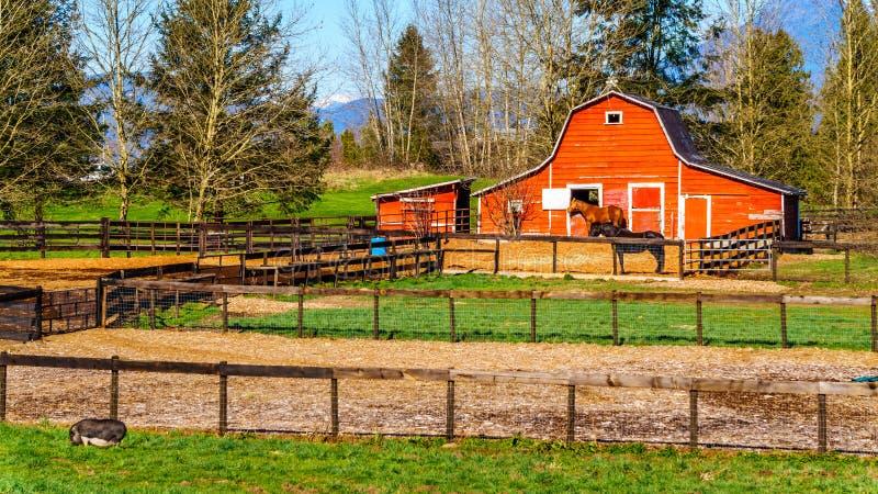 吃草在小牧场的马在堡垒兰利不列颠哥伦比亚省附近 免版税库存照片