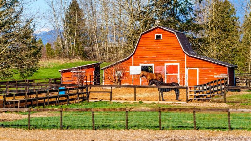 吃草在小牧场的马在堡垒兰利不列颠哥伦比亚省附近 免版税图库摄影