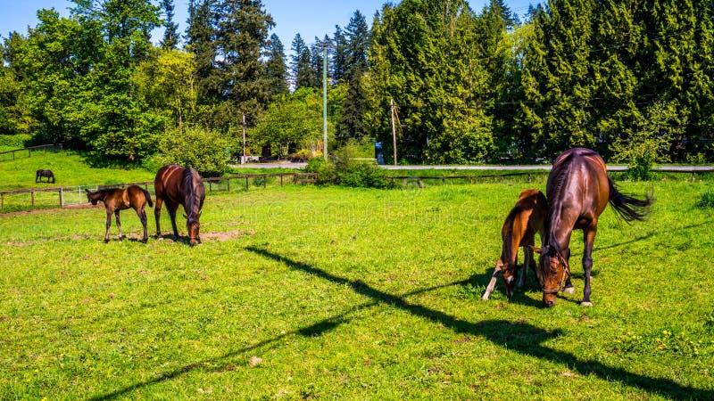 吃草在小牧场的马在堡垒兰利不列颠哥伦比亚省附近 库存图片