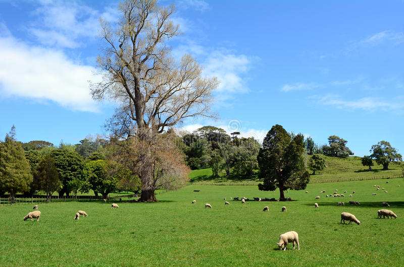 吃草在小牧场的绵羊群  免版税库存照片