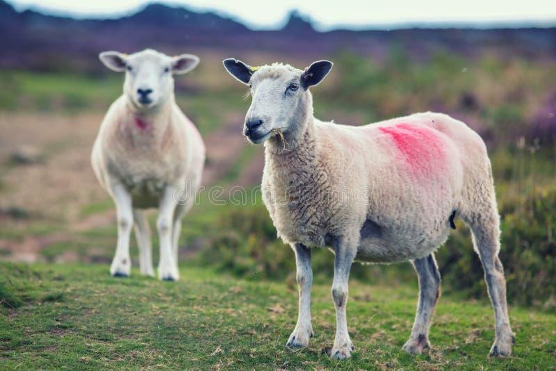 吃草在山地牧场地的绵羊夫妇  图库摄影