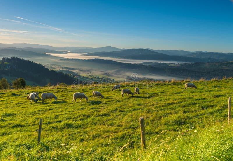 吃草在山的一个草甸的绵羊 免版税库存照片