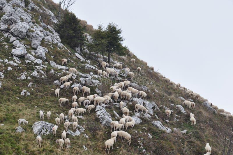 吃草在山的倾斜的绵羊 免版税图库摄影
