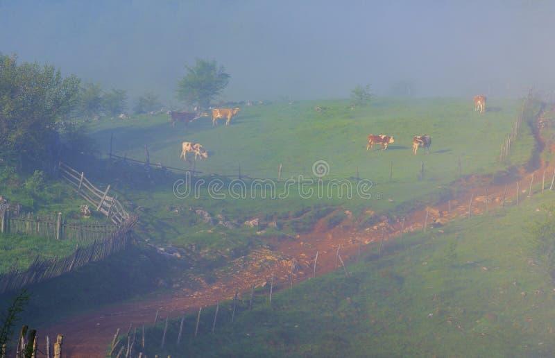 吃草在山的母牛在一个有雾的早晨 库存图片