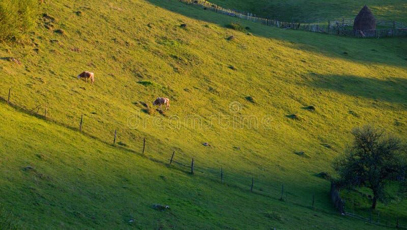 吃草在山的母牛在日落时间 免版税图库摄影