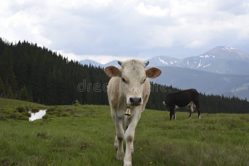 吃草在山的母牛 免版税库存图片