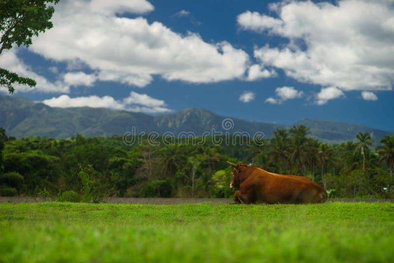 吃草在山的草甸的布朗母牛在夏天晴天 免版税库存照片