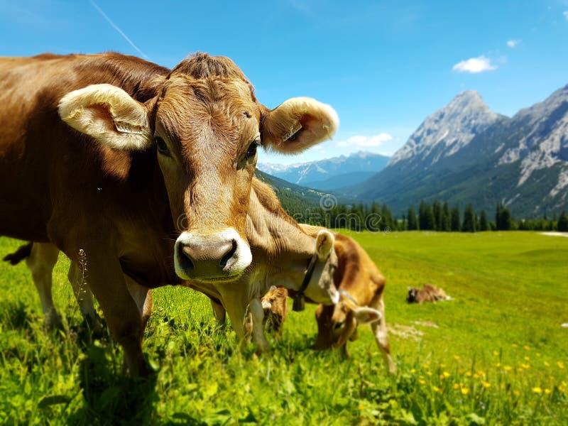 吃草在山的草甸的布朗母牛 在牧场地的牛 免版税库存图片