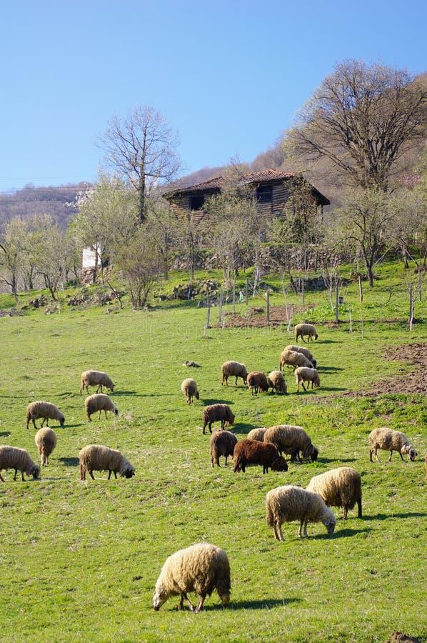吃草在山的绵羊群吃草 库存照片