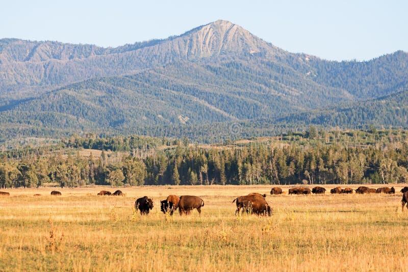 吃草在平原的北美野牛牧群在大提顿峰 库存照片