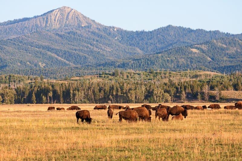 吃草在平原的北美野牛牧群 免版税库存照片