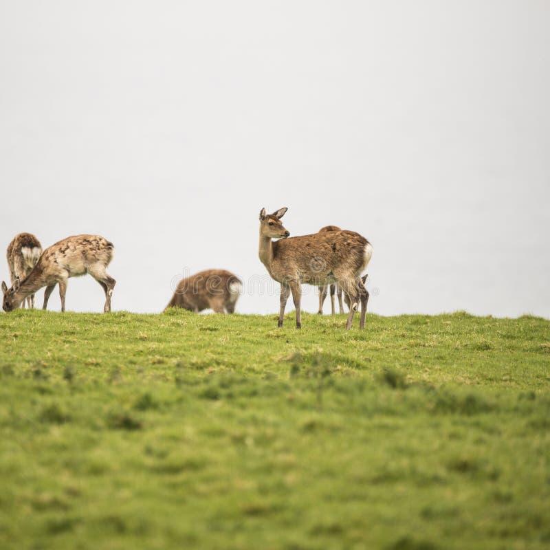 吃草在开放草原的母sika鹿在阴暗天 免版税库存照片