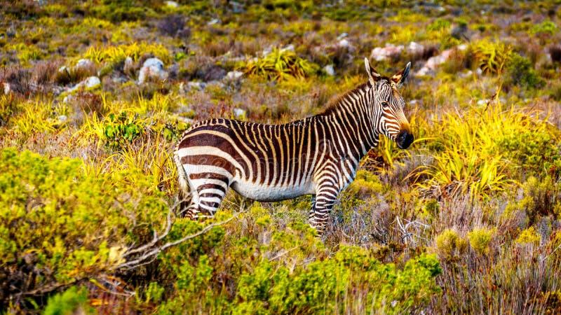 吃草在开普角自然保护的斑马 免版税库存图片