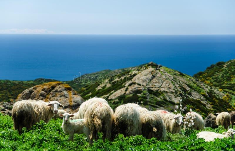 吃草在撒丁岛的海岸的绵羊 库存照片