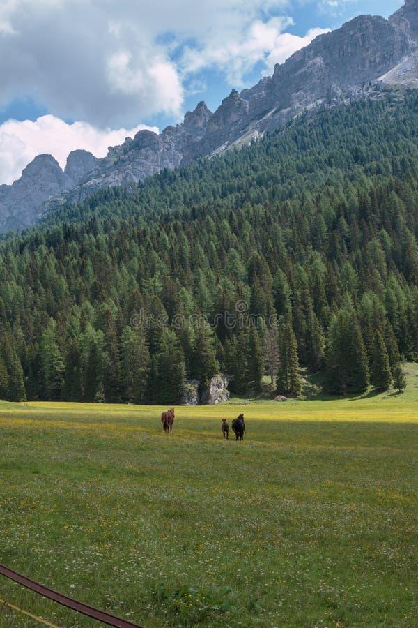 吃草在放牧地带的黑马:在Misurina湖附近的意大利白云岩阿尔卑斯风景 免版税库存图片