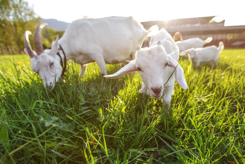 吃草在新鲜的草,与强的太阳背后照明的低广角照片的山羊 免版税库存照片