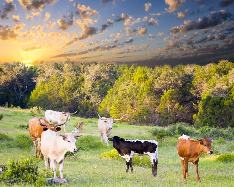 吃草在日出的长角牛母牛和小牛 库存图片