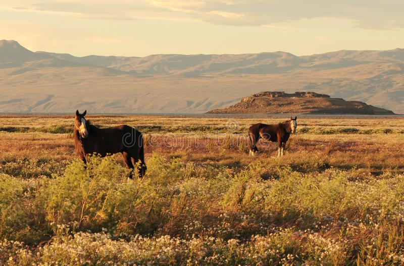 吃草在日落太阳的绿色牧场地的两匹马剪影  百内国家公园,巴塔哥尼亚,智利 免版税库存照片