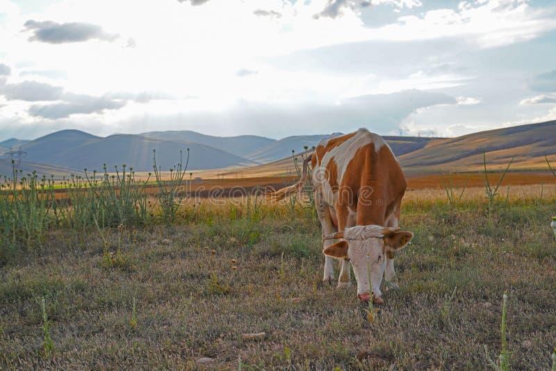 吃草在日落的草甸的白色和棕色或者红色母牛 免版税库存照片