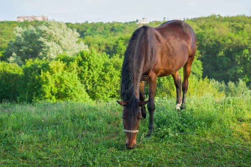 吃草在春天牧场地的孤独的马 库存照片