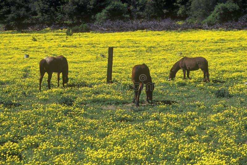吃草在春天的马调遣,圣保拉,加州 免版税库存图片