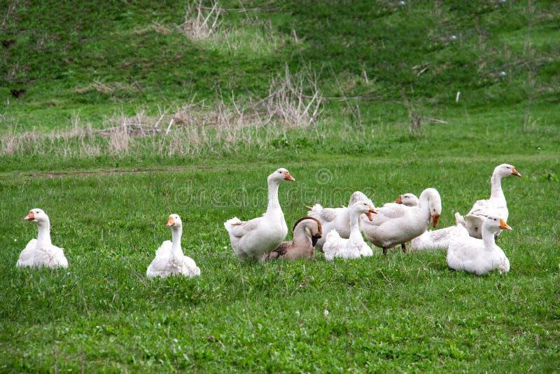 不同动物也是有友情的,小狗被鹅群轮番欺负,小猪看不