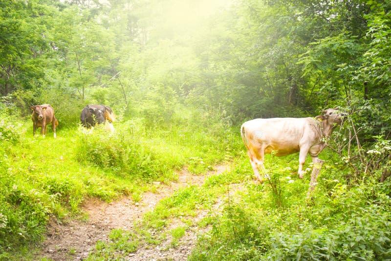吃草在有明亮的光亮的太阳的绿色草甸的母牛在晚上 与农村风景的被称呼的储蓄照片在罗马尼亚 免版税库存照片