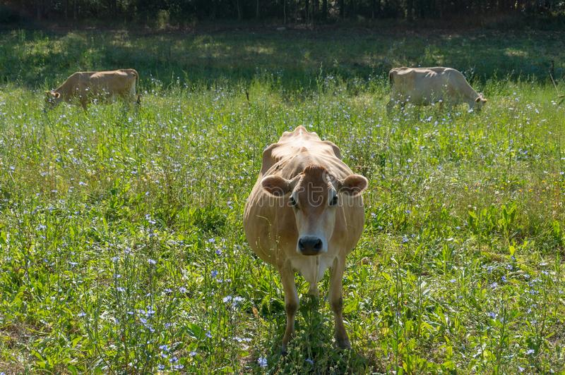 吃草在有牧群的小牧场的泽西母牛在背景 免版税库存图片