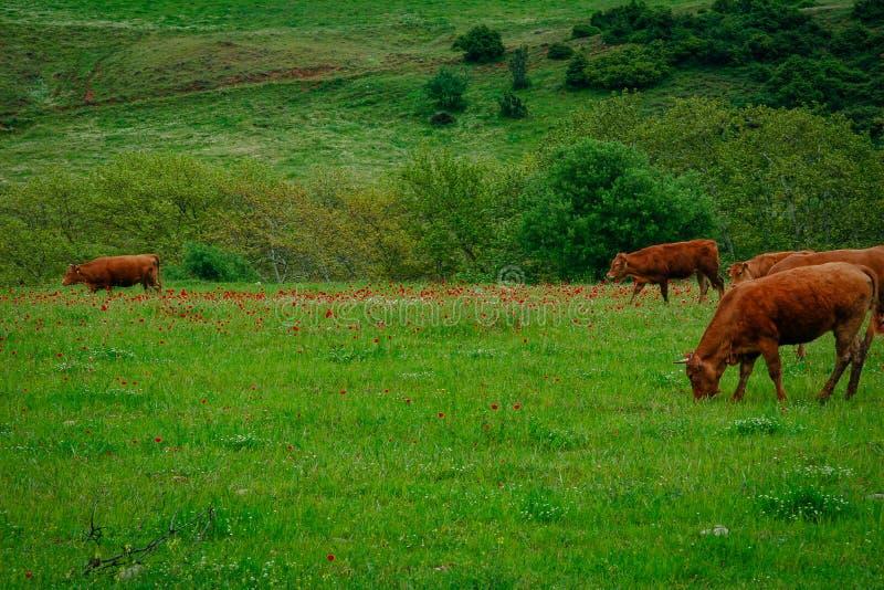 吃草在有红色花的绿色草甸的母牛 免版税库存照片