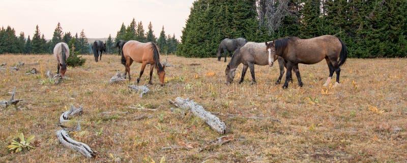 吃草在沉材日志旁边的野马小牧群在普莱尔山野马范围的日落在蒙大拿美国 免版税库存照片